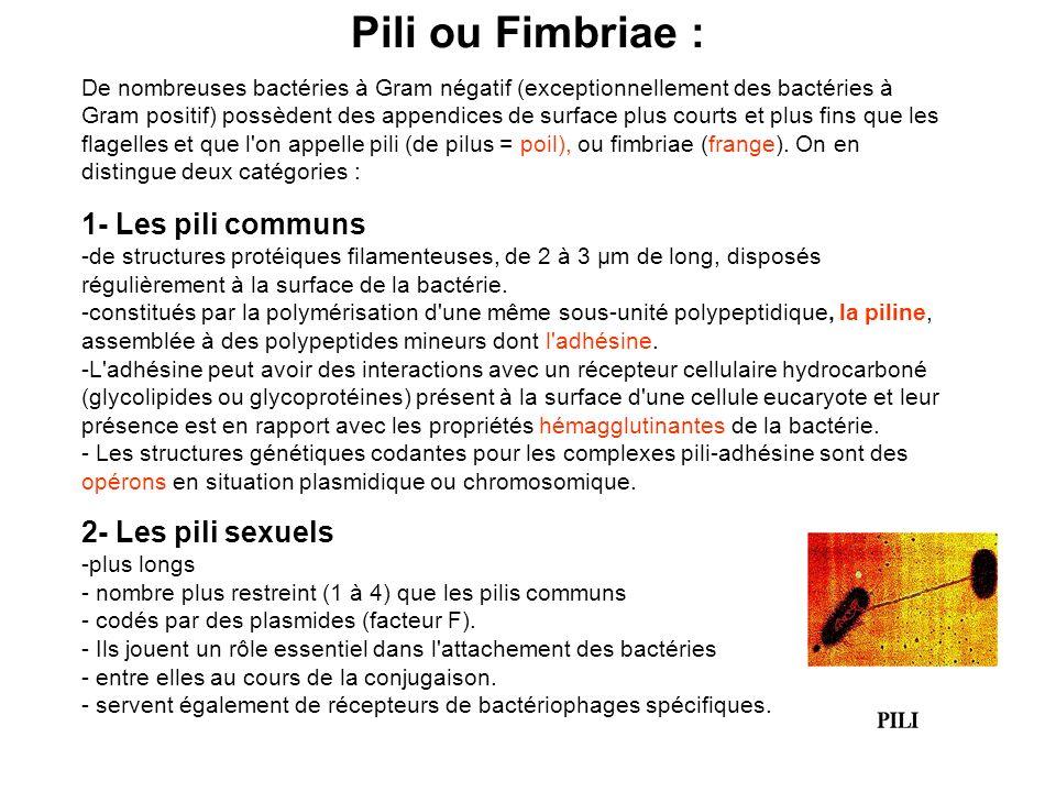 Pili ou Fimbriae : De nombreuses bactéries à Gram négatif (exceptionnellement des bactéries à Gram positif) possèdent des appendices de surface plus courts et plus fins que les flagelles et que l on appelle pili (de pilus = poil), ou fimbriae (frange).