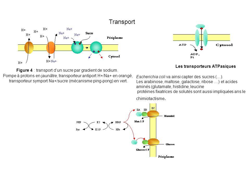 Les transporteurs ATPasiques Escherichia coli va ainsi capter des sucres (…).