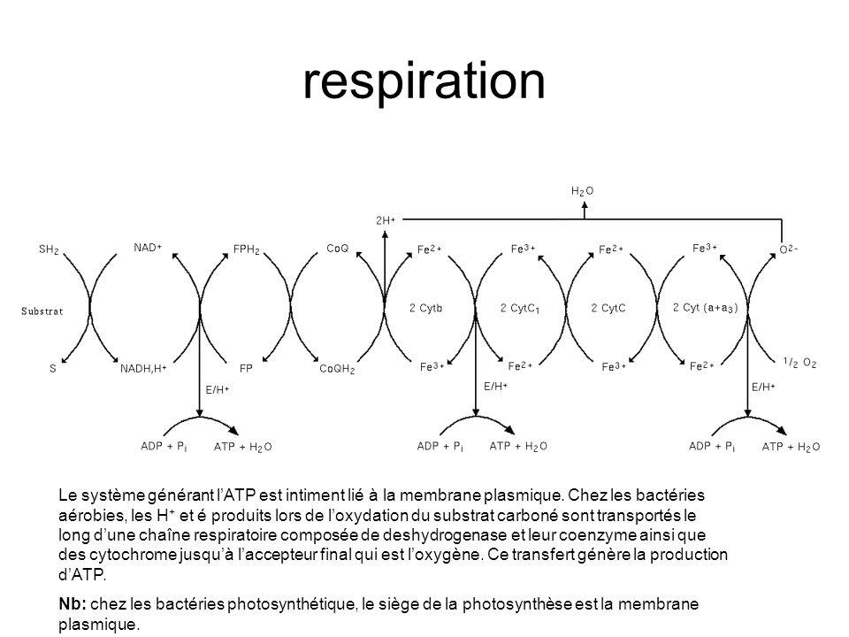 respiration Le système générant lATP est intiment lié à la membrane plasmique.