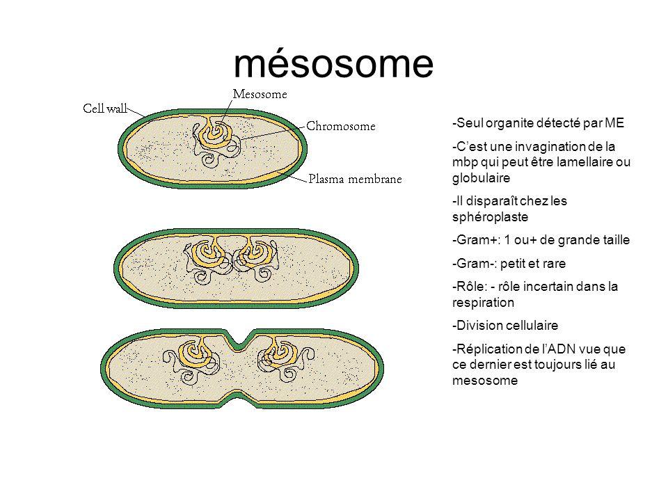 mésosome -Seul organite détecté par ME -Cest une invagination de la mbp qui peut être lamellaire ou globulaire -Il disparaît chez les sphéroplaste -Gram+: 1 ou+ de grande taille -Gram-: petit et rare -Rôle: - rôle incertain dans la respiration -Division cellulaire -Réplication de lADN vue que ce dernier est toujours lié au mesosome