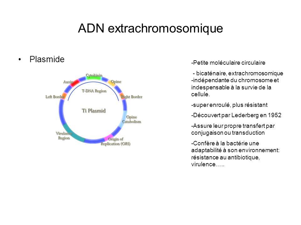 ADN extrachromosomique Plasmide -Petite moléculaire circulaire - bicaténaire, extrachromosomique -indépendante du chromosome et indespensable à la survie de la cellule.