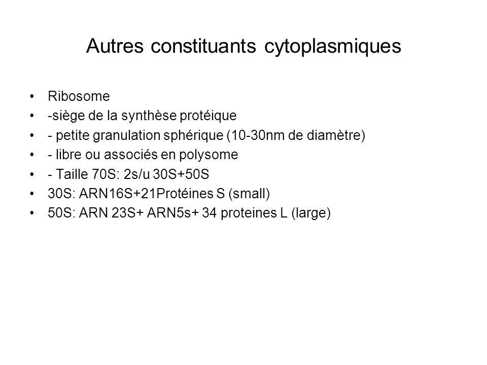 Autres constituants cytoplasmiques Ribosome -siège de la synthèse protéique - petite granulation sphérique (10-30nm de diamètre) - libre ou associés en polysome - Taille 70S: 2s/u 30S+50S 30S: ARN16S+21Protéines S (small) 50S: ARN 23S+ ARN5s+ 34 proteines L (large)
