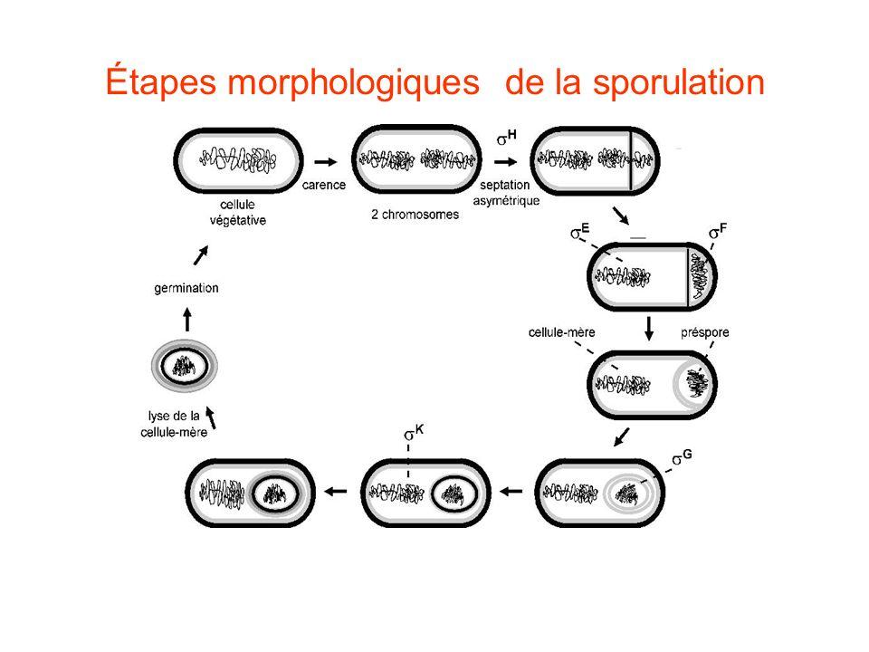 Étapes morphologiques de la sporulation