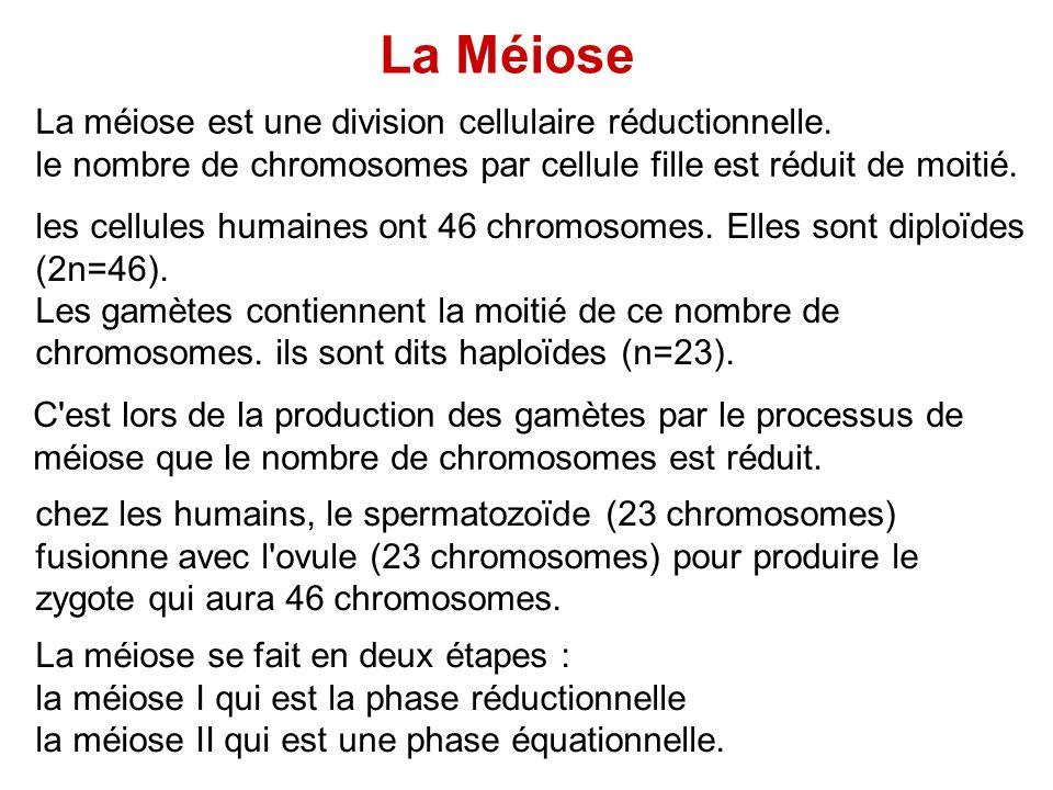 La méiose est une division cellulaire réductionnelle. le nombre de chromosomes par cellule fille est réduit de moitié. les cellules humaines ont 46 ch