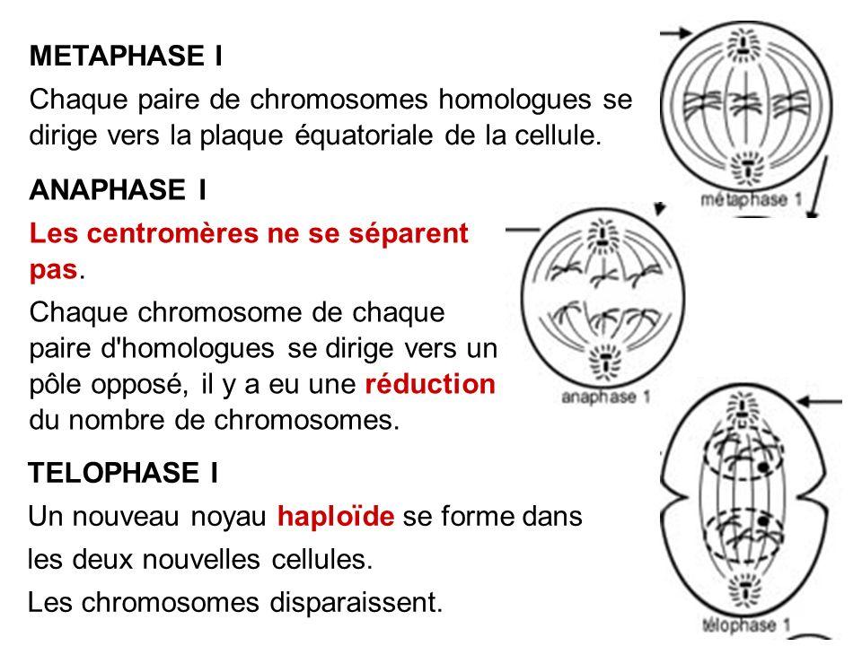 METAPHASE I Chaque paire de chromosomes homologues se dirige vers la plaque équatoriale de la cellule. TELOPHASE I Un nouveau noyau haploïde se forme