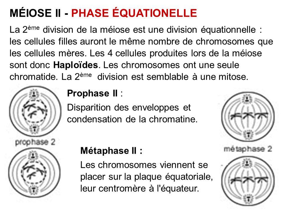 MÉIOSE II - PHASE ÉQUATIONELLE La 2 ème division de la méiose est une division équationnelle : les cellules filles auront le même nombre de chromosome