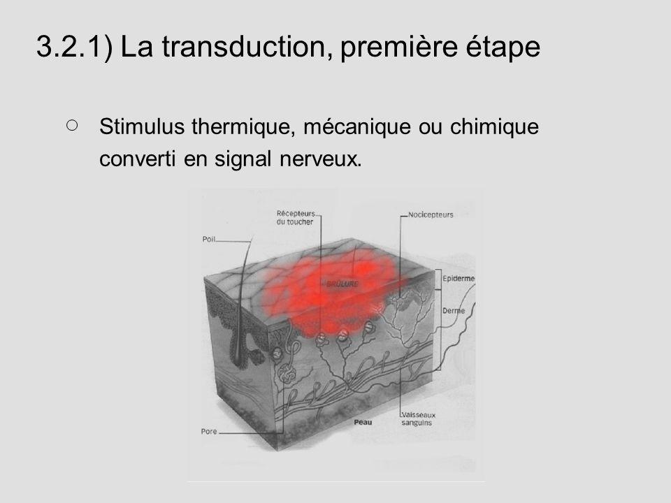 3.2.1) La transduction, première étape Stimulus thermique, mécanique ou chimique converti en signal nerveux.
