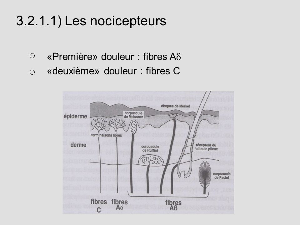 3.2.1.1) Les nocicepteurs «Première» douleur : fibres A «deuxième» douleur : fibres C