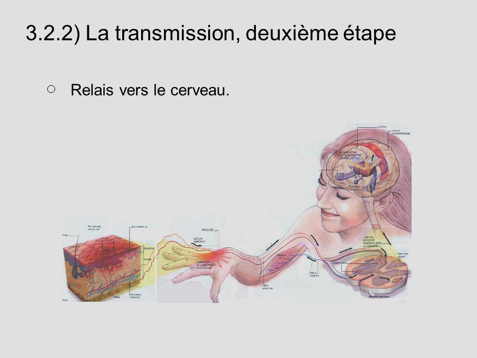 3.2.2) La transmission, deuxième étape Relais vers le cerveau.