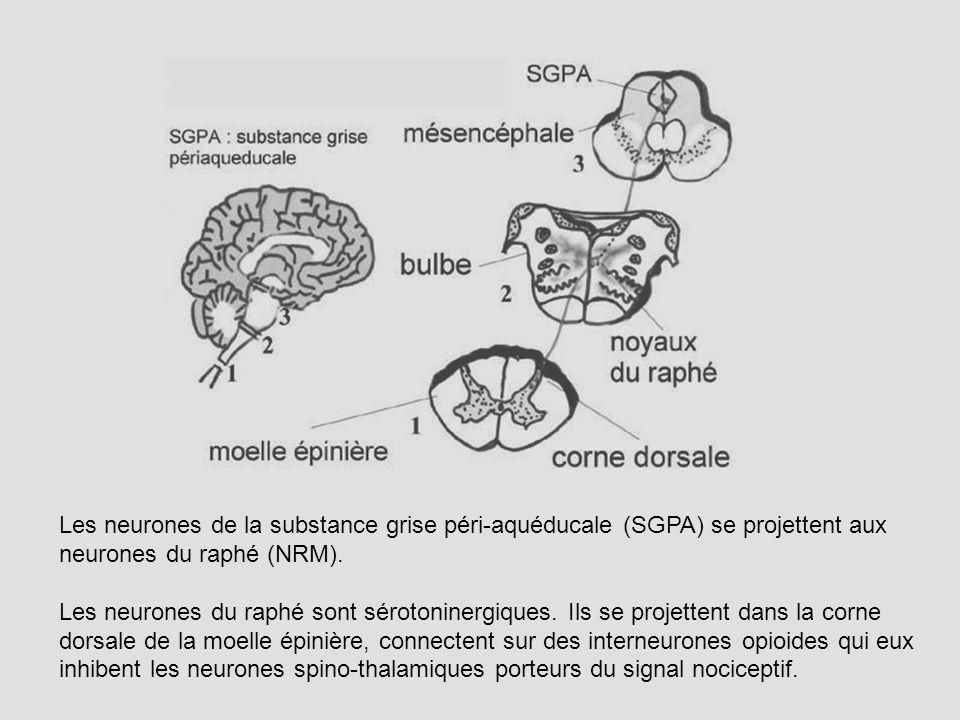 Les neurones de la substance grise péri-aquéducale (SGPA) se projettent aux neurones du raphé (NRM). Les neurones du raphé sont sérotoninergiques. Ils