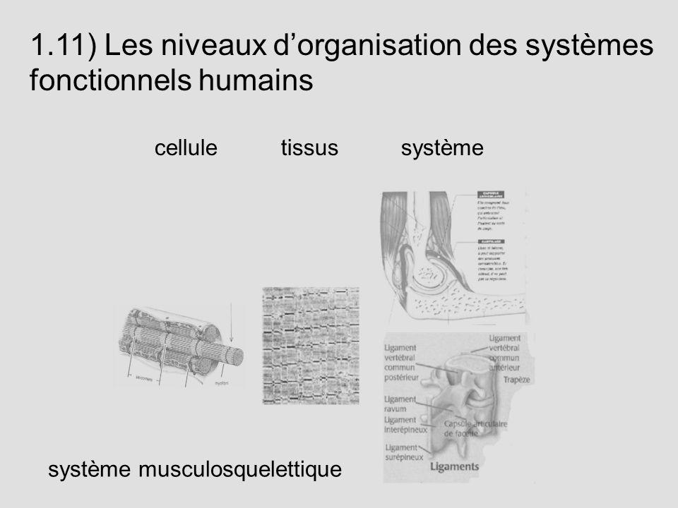 1.11) Les niveaux dorganisation des systèmes fonctionnels humains cellule tissus système système musculosquelettique