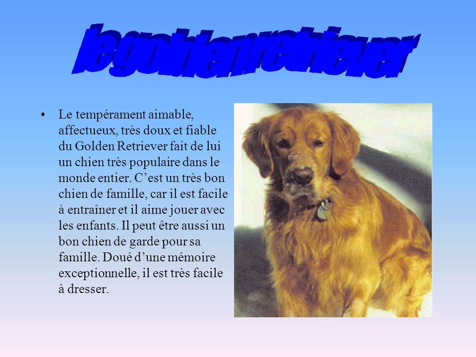 Le tempérament aimable, affectueux, très doux et fiable du Golden Retriever fait de lui un chien très populaire dans le monde entier.