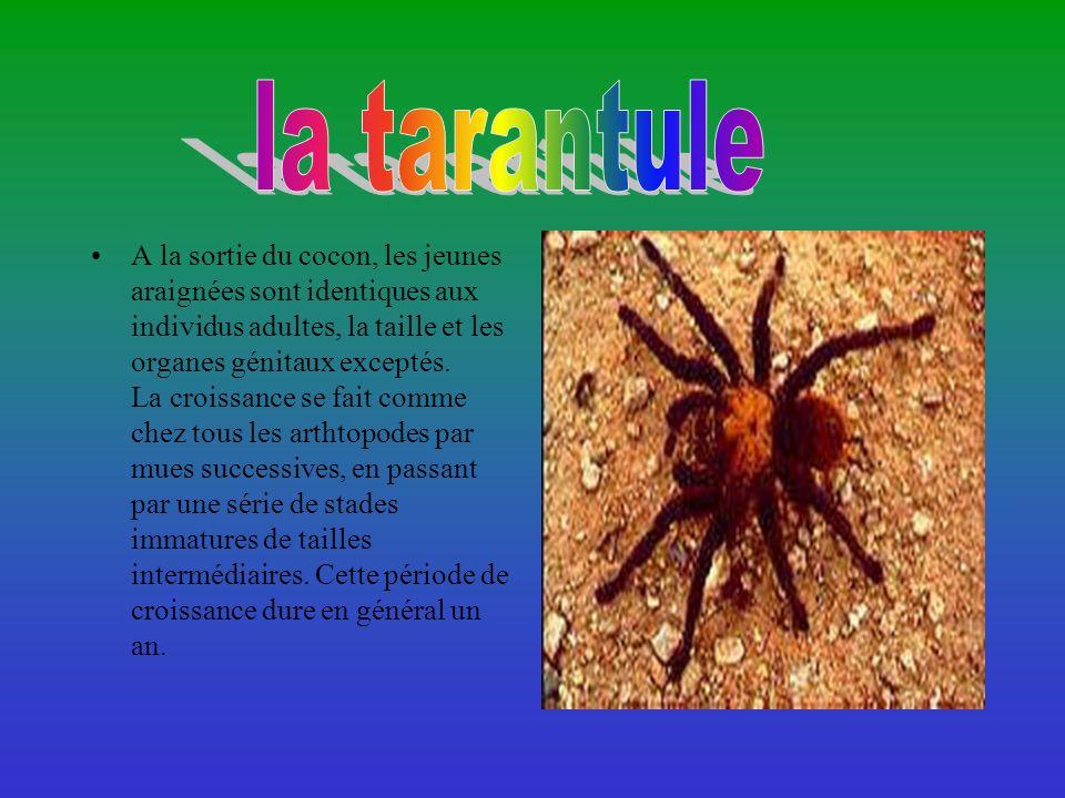 A la sortie du cocon, les jeunes araignées sont identiques aux individus adultes, la taille et les organes génitaux exceptés.
