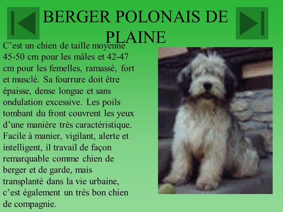 BERGER HOLLANDAIS A POIL COURT Il existe trois variétés de bergers hollandais : à poil court le plus répandu, à poil long peu courant et à poil dur ra