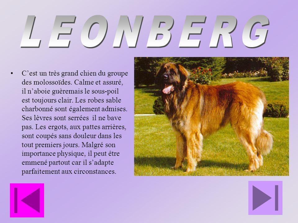 Cest un très grand chien du groupe des molossoïdes.