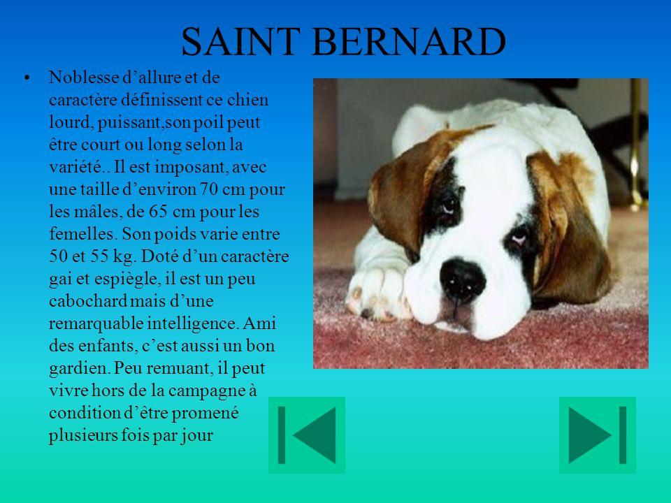 SAINT BERNARD Noblesse dallure et de caractère définissent ce chien lourd, puissant,son poil peut être court ou long selon la variété..