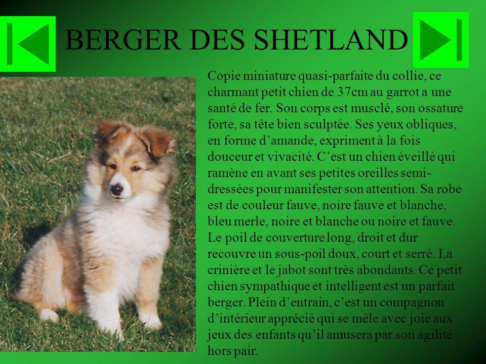 BERGER DES SHETLAND Copie miniature quasi-parfaite du collie, ce charmant petit chien de 37cm au garrot a une santé de fer.