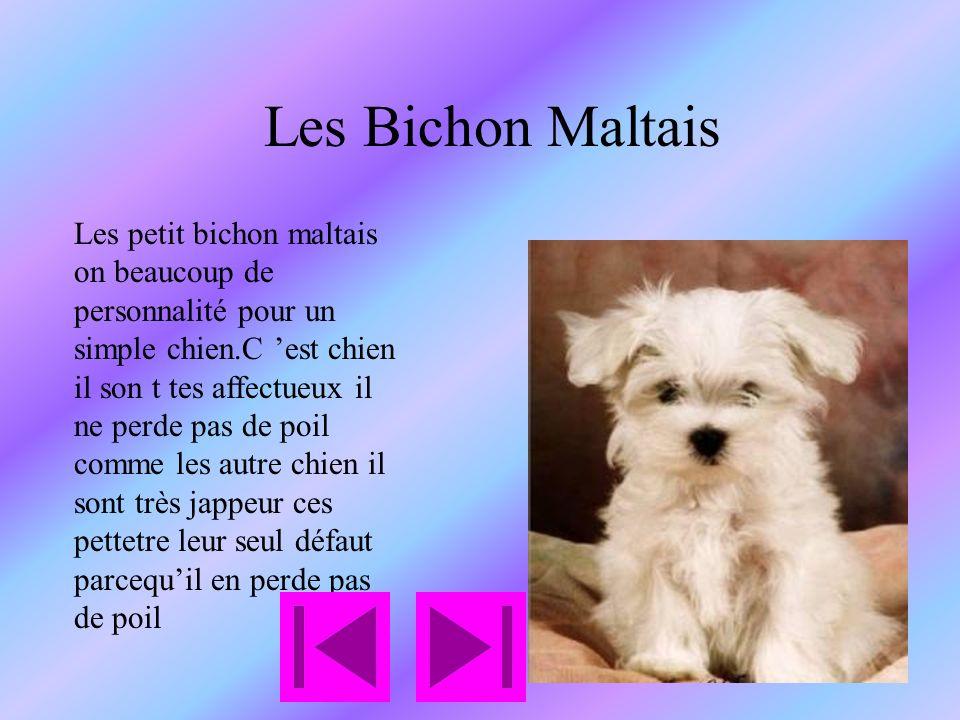 Les Bichon Maltais Les petit bichon maltais on beaucoup de personnalité pour un simple chien.C est chien il son t tes affectueux il ne perde pas de poil comme les autre chien il sont très jappeur ces pettetre leur seul défaut parcequil en perde pas de poil
