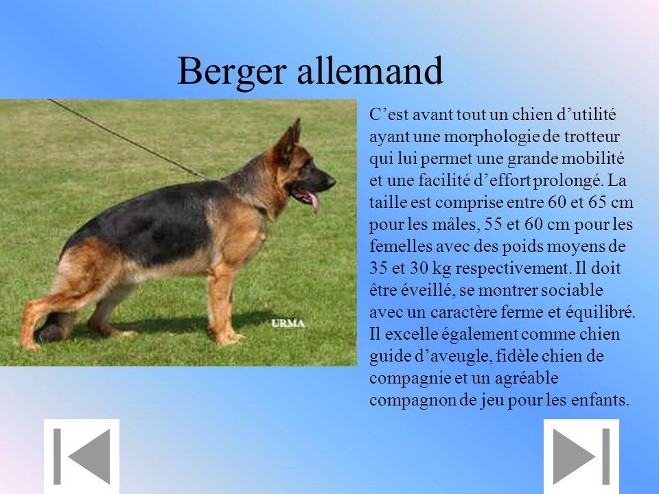 Berger allemand Cest avant tout un chien dutilité ayant une morphologie de trotteur qui lui permet une grande mobilité et une facilité deffort prolongé.