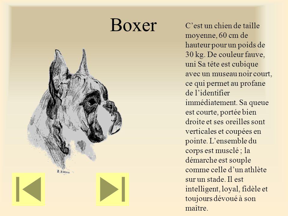 Boxer Cest un chien de taille moyenne, 60 cm de hauteur pour un poids de 30 kg.