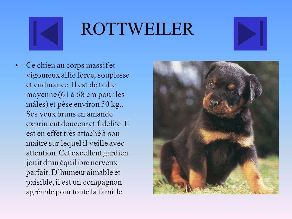 Boxer Cest un chien de taille moyenne, 60 cm de hauteur pour un poids de 30 kg. De couleur fauve, uni Sa tête est cubique avec un museau noir court, c