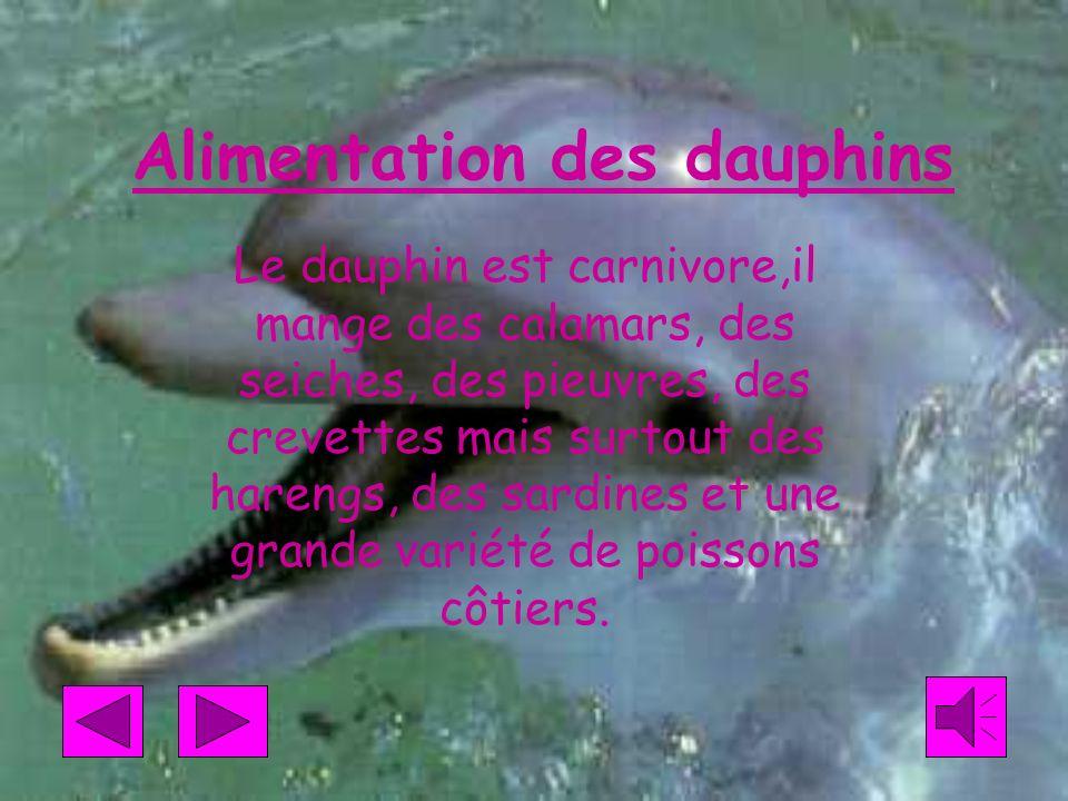 Alimentation des dauphins Le dauphin est carnivore,il mange des calamars, des seiches, des pieuvres, des crevettes mais surtout des harengs, des sardines et une grande variété de poissons côtiers.
