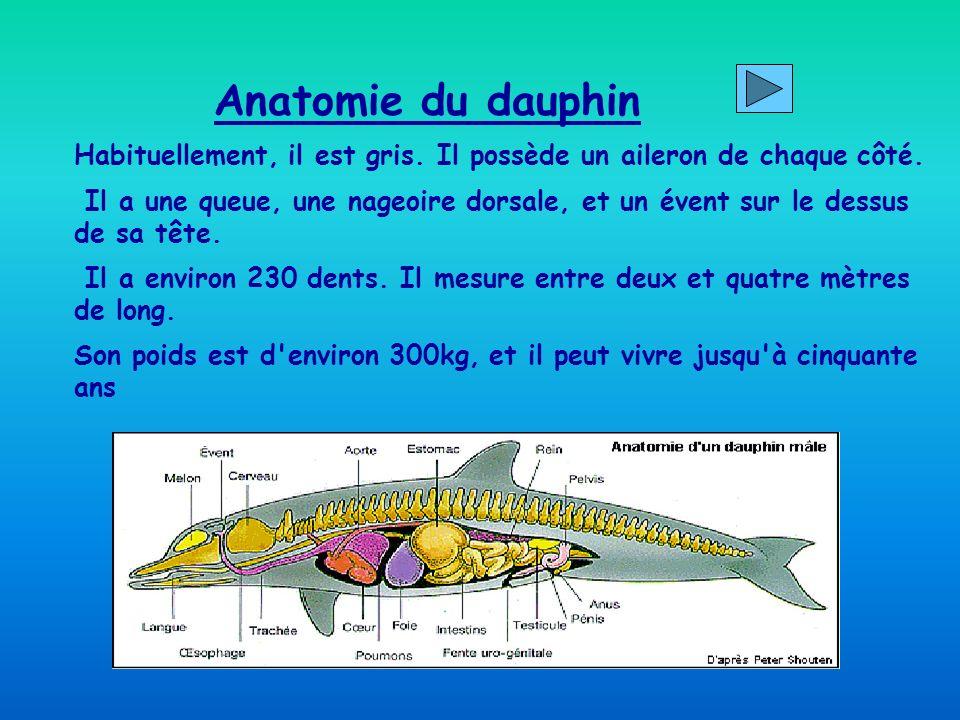 Anatomie du dauphin Habituellement, il est gris.Il possède un aileron de chaque côté.