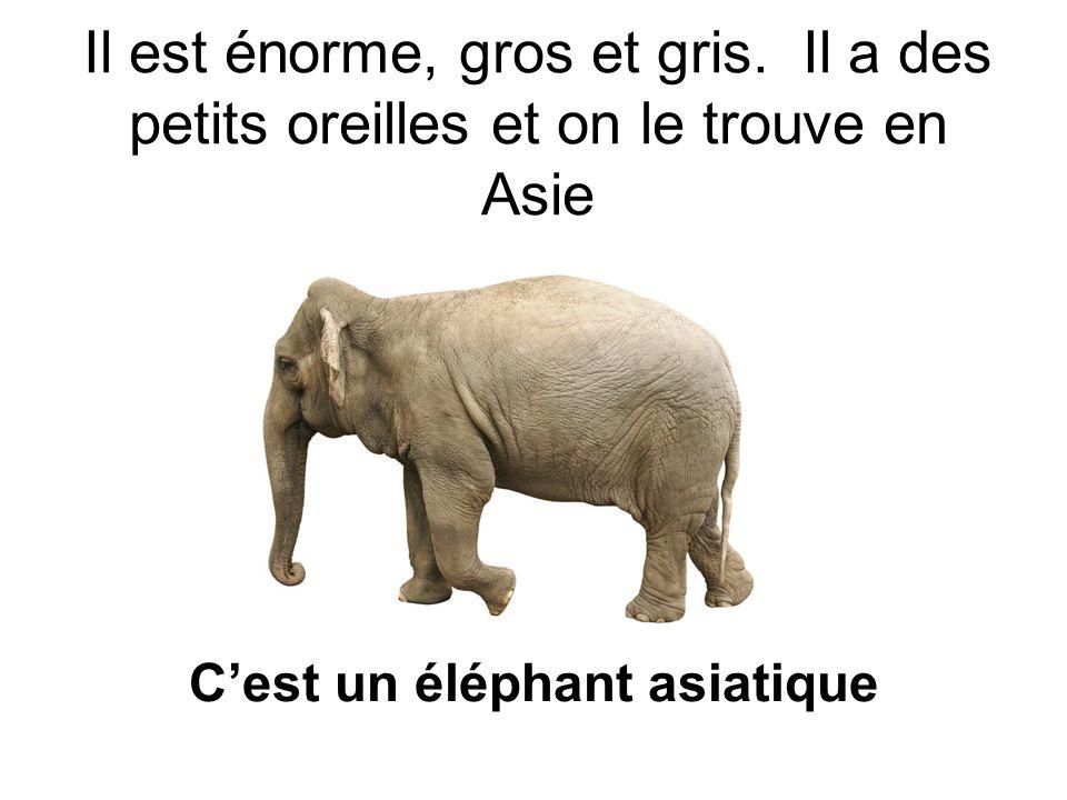 Il est énorme, gros et gris. Il a des petits oreilles et on le trouve en Asie Cest un éléphant asiatique