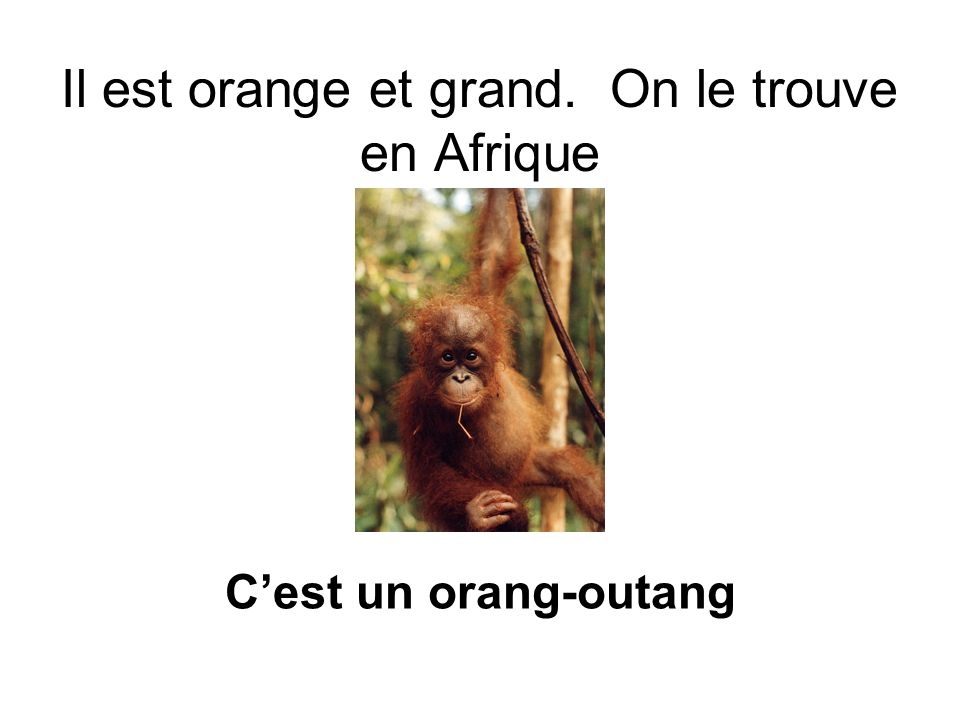 Il est orange et grand. On le trouve en Afrique Cest un orang-outang