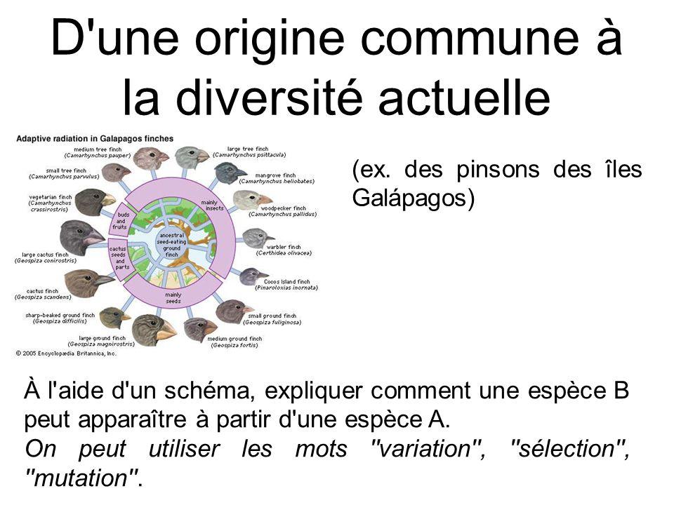 D'une origine commune à la diversité actuelle À l'aide d'un schéma, expliquer comment une espèce B peut apparaître à partir d'une espèce A. On peut ut
