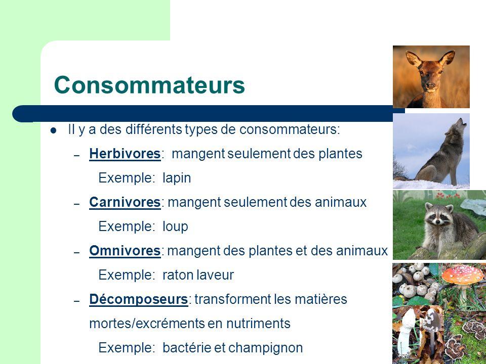 Consommateurs Il y a des différents types de consommateurs: – Herbivores: mangent seulement des plantes Exemple: lapin – Carnivores: mangent seulement des animaux Exemple: loup – Omnivores: mangent des plantes et des animaux Exemple: raton laveur – Décomposeurs: transforment les matières mortes/excréments en nutriments Exemple: bactérie et champignon