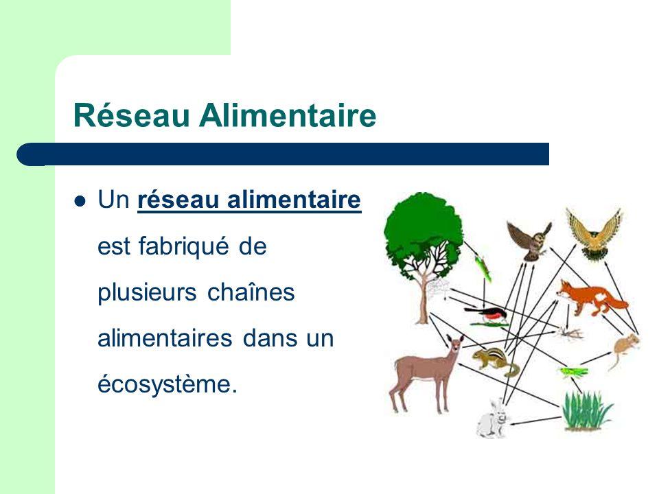 Réseau Alimentaire Un réseau alimentaire est fabriqué de plusieurs chaînes alimentaires dans un écosystème.