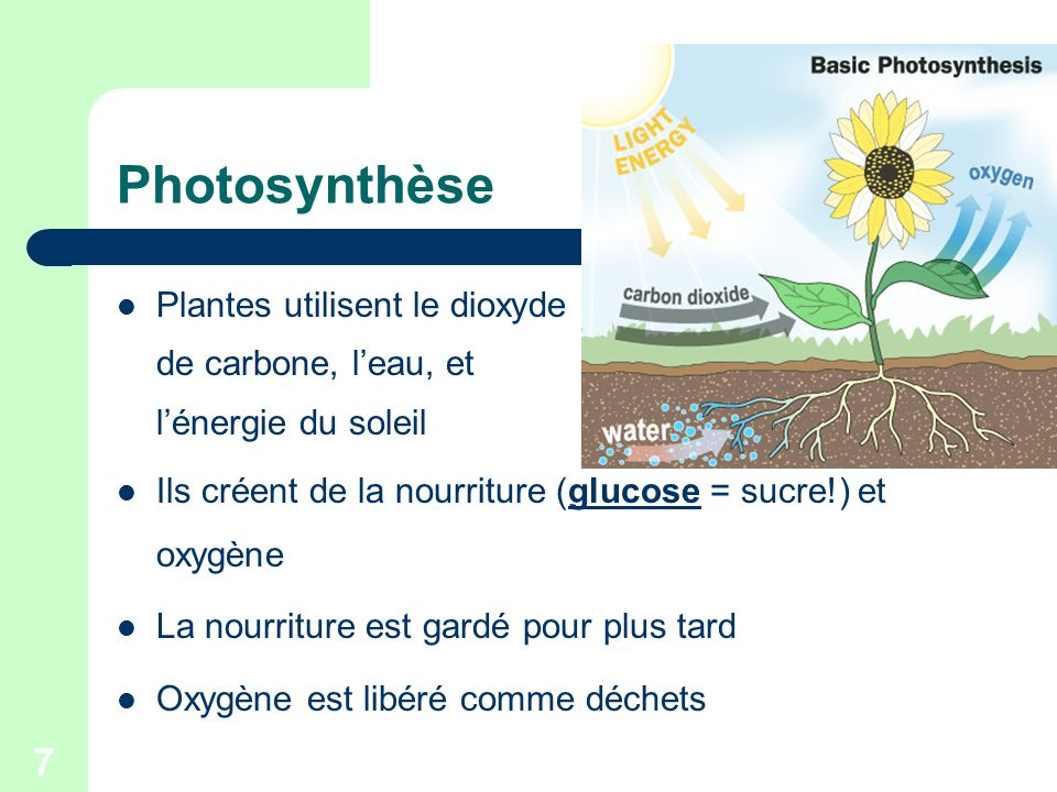 7 Photosynthèse Plantes utilisent le dioxyde de carbone, leau, et lénergie du soleil Ils créent de la nourriture (glucose = sucre!) et oxygène La nour