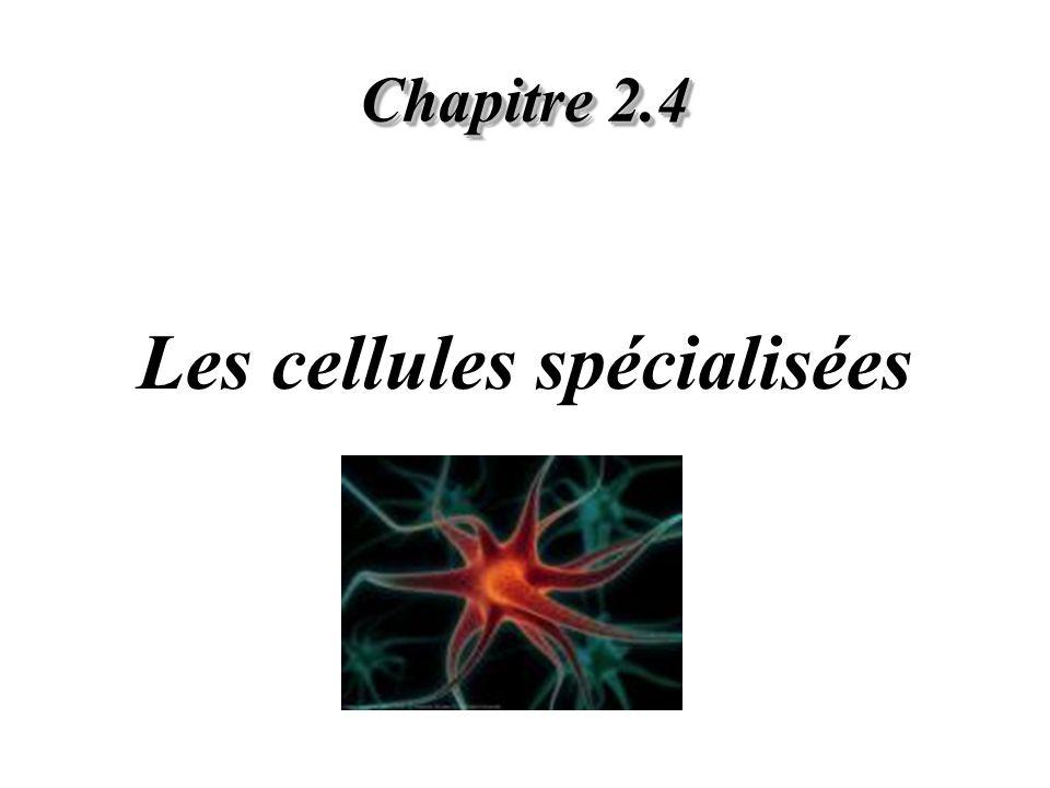Chapitre 2.4 Les cellules spécialisées