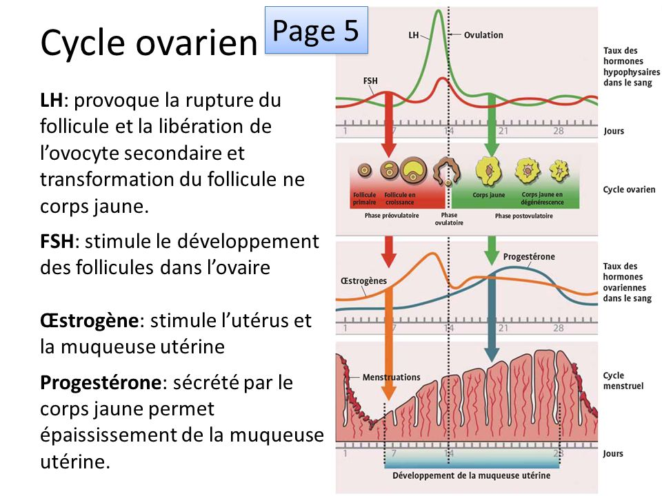 Cycle ovarien LH: provoque la rupture du follicule et la libération de lovocyte secondaire et transformation du follicule ne corps jaune.