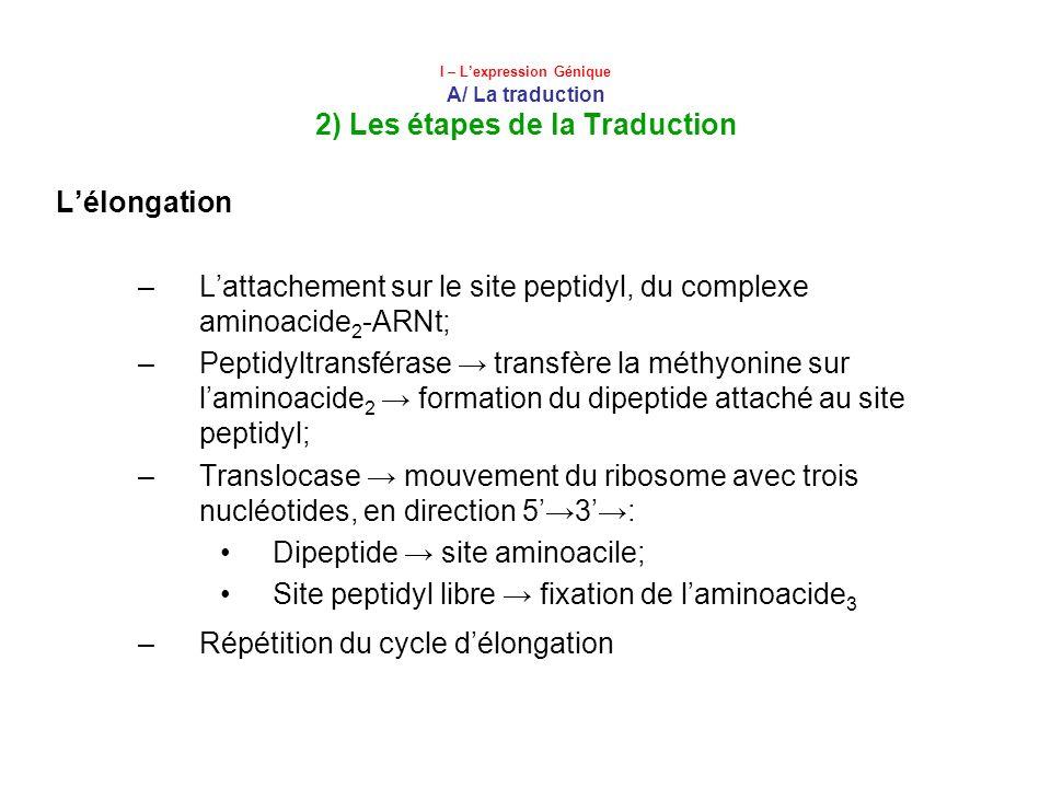 I – Lexpression Génique A/ La traduction 2) Les étapes de la Traduction Lélongation –Lattachement sur le site peptidyl, du complexe aminoacide 2 -ARNt