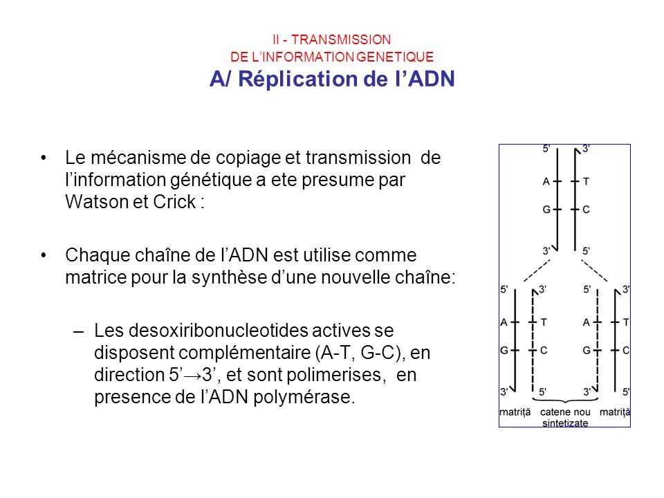 II - TRANSMISSION DE LINFORMATION GENETIQUE A/ Réplication de lADN Le mécanisme de copiage et transmission de linformation génétique a ete presume par