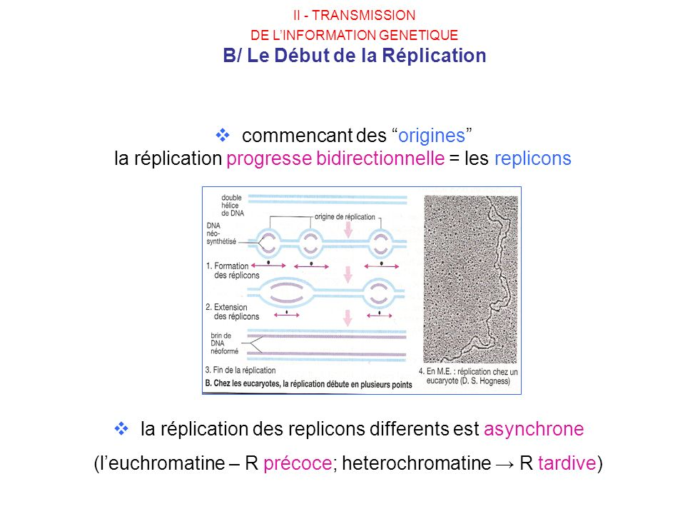 commencant des origines la réplication progresse bidirectionnelle = les replicons la réplication des replicons differents est asynchrone (leuchromatin