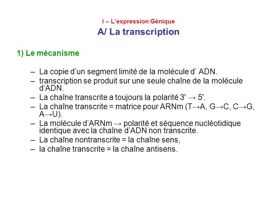 I – Lexpression Génique A/ La transcription 1) Le mécanisme –La copie dun segment limité de la molécule d ADN. –transcription se produit sur une seule