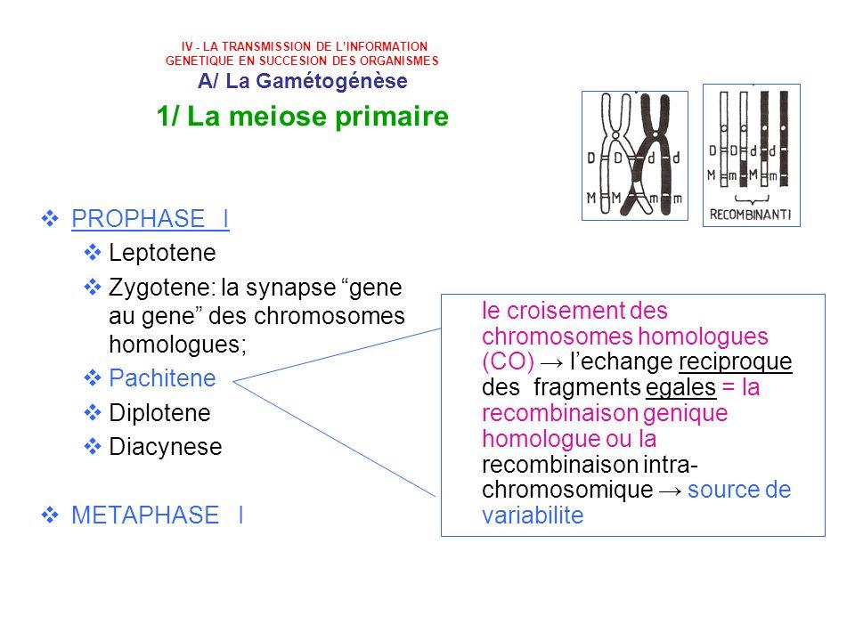 IV - LA TRANSMISSION DE LINFORMATION GENETIQUE EN SUCCESION DES ORGANISMES A/ La Gamétogénèse 1/ La meiose primaire PROPHASE I Leptotene Zygotene: la