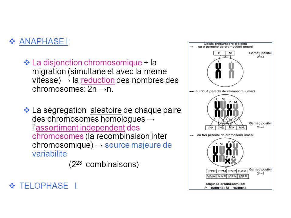 ANAPHASE I: La disjonction chromosomique + la migration (simultane et avec la meme vitesse) la reduction des nombres des chromosomes: 2n n. La segrega