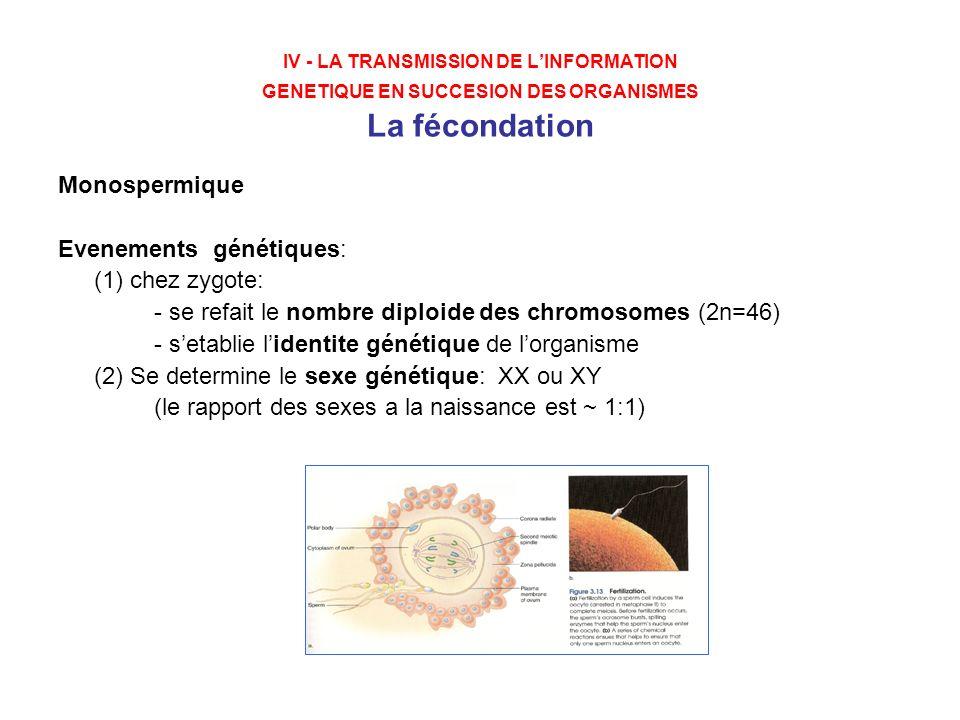 IV - LA TRANSMISSION DE LINFORMATION GENETIQUE EN SUCCESION DES ORGANISMES La fécondation Monospermique Evenements génétiques: (1) chez zygote: - se r