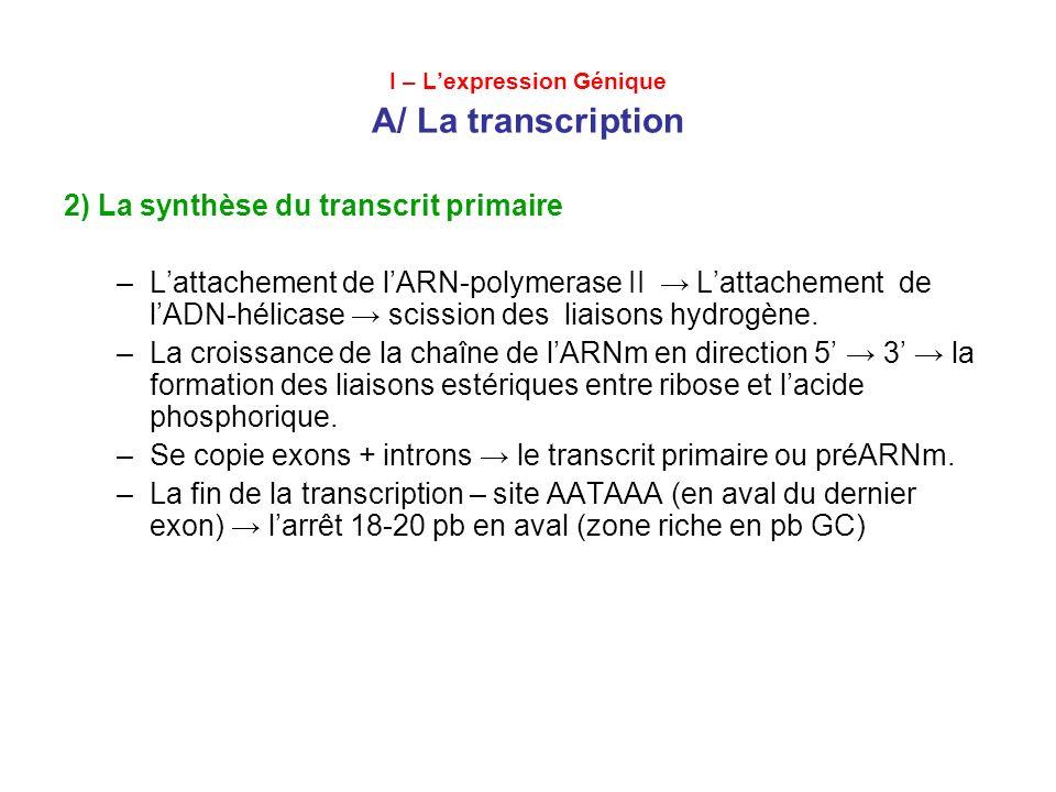 I – Lexpression Génique A/ La traduction 2) Les étapes de la Traduction Linitiation –aminoacile-ARNt-synthétase + ATP lactivation des complexes aminoacile-ARNt; –La fixation du complexe méthionyl-ARNt a la petite sous- unité du ribosome (40S); –Le mouvement vers lextremité 3 de l ARNm codon dinitiation AUG –Lattachement de la grande sous-unité du ribosome (60S) sites fonctionnels: aminoacile, peptidyl et de sortie