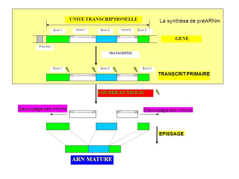 I – Lexpression Génique A/ La transcription 3) Maturation du preARNm –en région 5 de la molécule est attaché un reste de 7- méthylguanine résistance à laction des ribonucléases; –Une ribonucléase sectionne le préARNm a 11-30 nucleotides en aval du site AAUAAA lattachement du polyA-polymérase lattachement de plusieurs nucléotides avec adénine (50-250) queue polyadenylique la stabilisation du préARNm pendant le transport du noyau vers le cytoplasme
