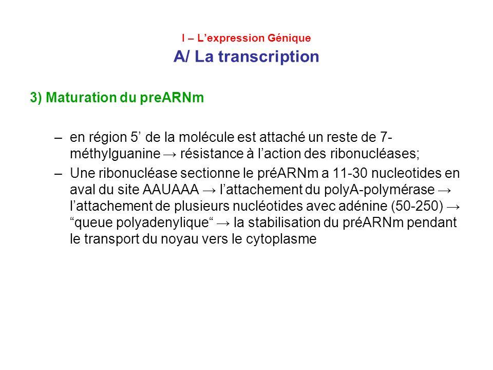 I – Lexpression Génique A/ La transcription 3) Maturation du préARNm –épissage Les extrémités des introns sont coupées + élimination des introns attachement des exons; Les balises dinucléotidiques des introns: GU et AG sont reconues par les enzymes; Le découpage enzymatique; Lexclusion des introns; Lattachement des séquences exoniques.