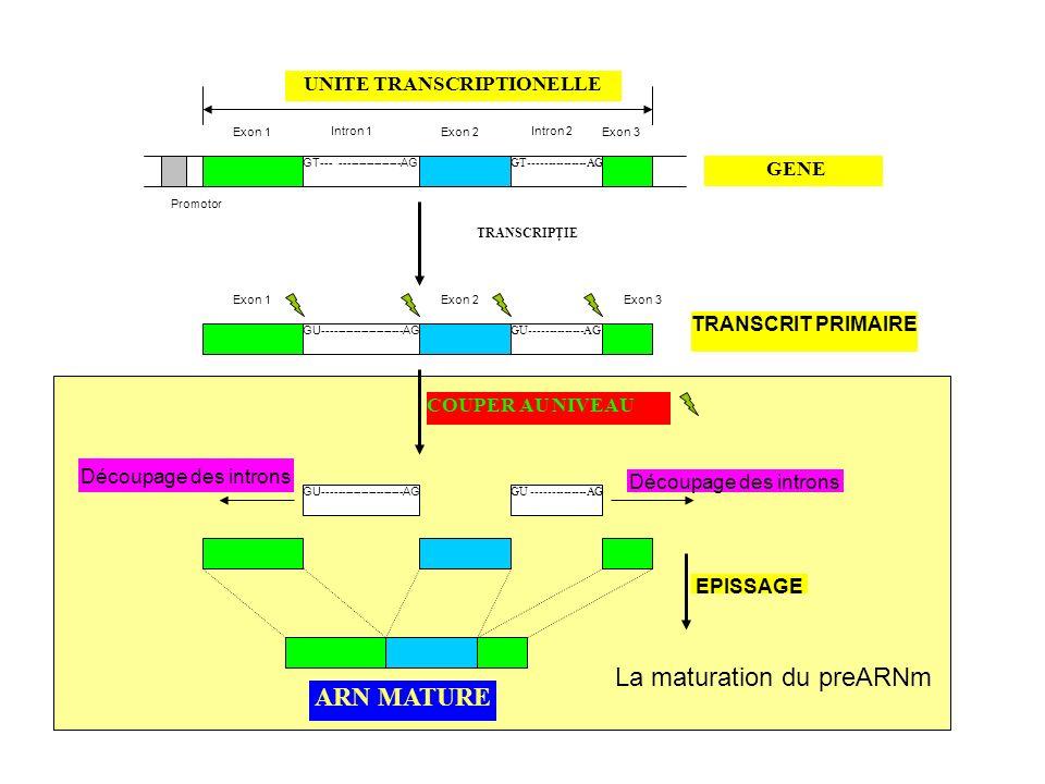 I – Lexpression Génique A/ La traduction 1) Lappareil de la traduction ARNm mature Ribosomes ARN de transfert Proteines Sources energetiques ARNm mature –2 zones netraduites laterales –1 region centrale traduite 5UTR Sequence traduite 3UTR 7-CH 3 -G AUGUAA---AAAAA