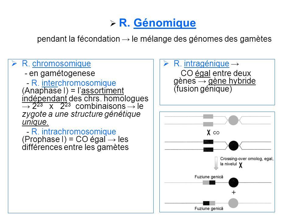 R. Génomique pendant la fécondation le mélange des génomes des gamètes R. chromosomique - en gamétogenese - R. interchromosomique (Anaphase I) = lasso