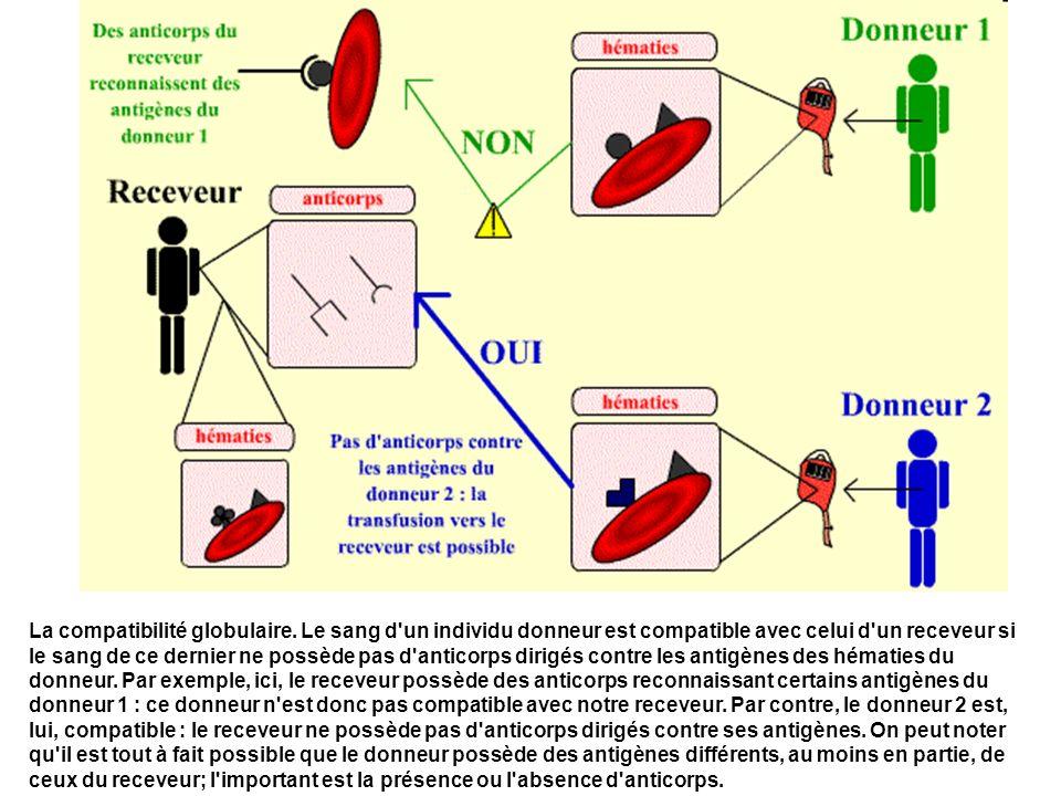 La compatibilité globulaire. Le sang d'un individu donneur est compatible avec celui d'un receveur si le sang de ce dernier ne possède pas d'anticorps