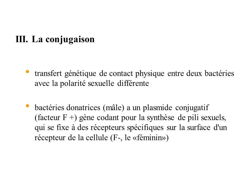 III. La conjugaison transfert génétique de contact physique entre deux bactéries avec la polarité sexuelle différente bactéries donatrices (mâle) a un