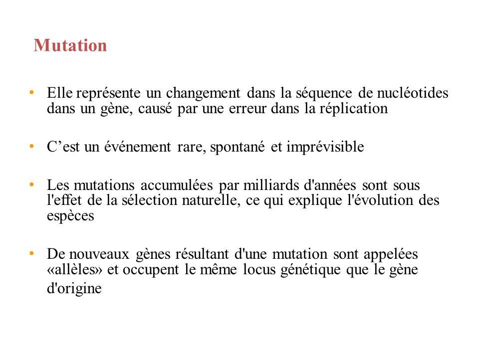 Mutation Elle représente un changement dans la séquence de nucléotides dans un gène, causé par une erreur dans la réplication Cest un événement rare,